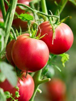 Specialist In Tomato Industry | John Deschauer
