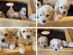 mini size Goldendoodle puppies