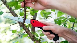 What Requirements Must Be Fulfilled When Pruning a Tree?