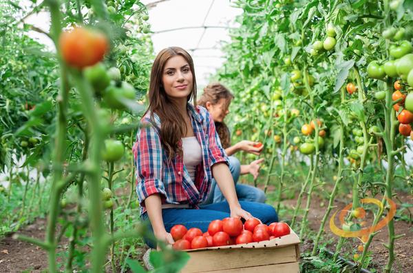 Growing Best Tomatoes By John Deschauer