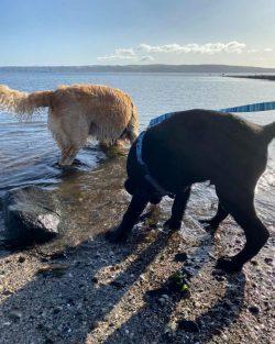 golden retriever puppy in USA
