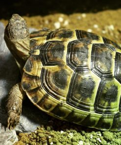 Tortoise for sale near me