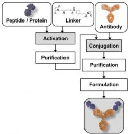 Estradiol Antibody