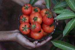 Tomatoes Specialist| John Deschauer