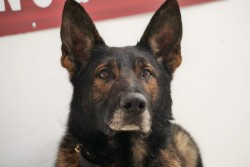 Executive Protection Dogs